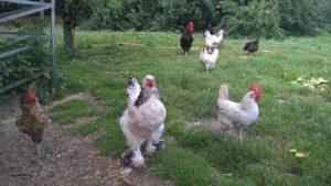 Hühnerleasing